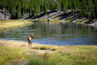 Elk and Fisherman, Firehole River
